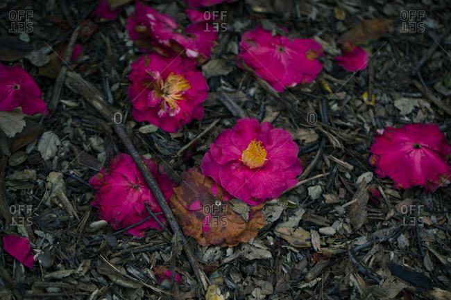 Close up of fallen wilting flowers on ground