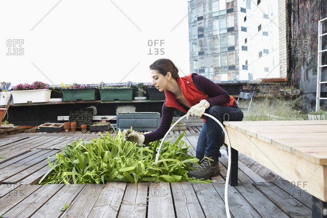 Woman watering plants in urban rooftop garden