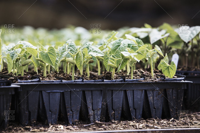 A row of seedlings, runner bean plants in pots in an organic nursery.