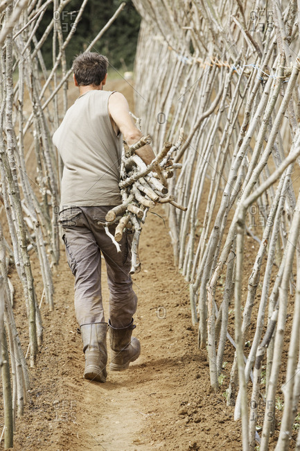 A man making a framework from pea sticks for growing vegetables in an organic vegetable plot.