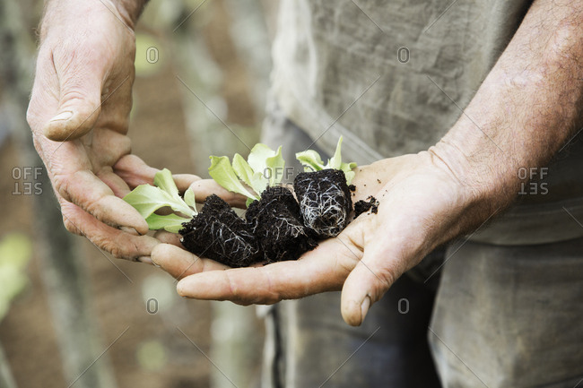 A person holding seedlings with developing root systems in plugs, ready for transplanting.