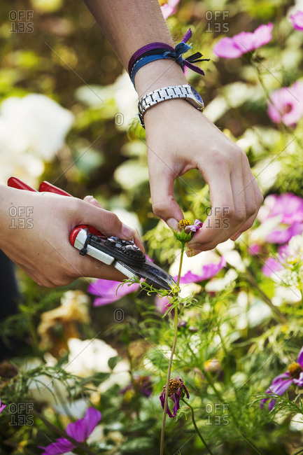 Close up of gardener cutting a flower at Waterperry Gardens in Oxfordshire.