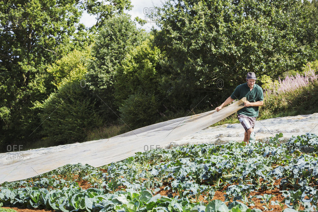 A man pulling a sheet of horticultural fleece over a crop of curly kale plants.