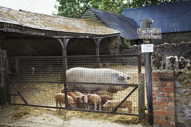 A mature pig and a litter of little piglets in a farmyard.