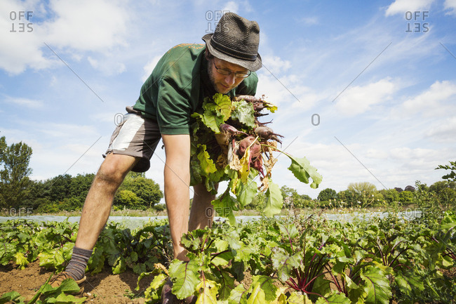 A man working in the field, pulling glossy red beetroots up.