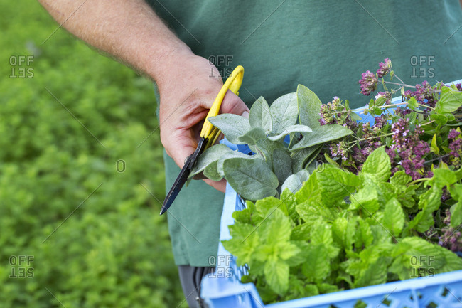 A gardener with scissors harvesting fresh herbs and salad plants.