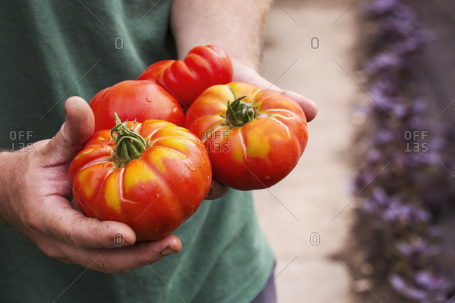 A person holding a handful of freshly picked large striped beefsteak tomatoes.