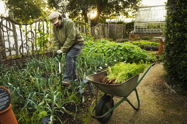 A person digging with a spade in a vegetable garden.
