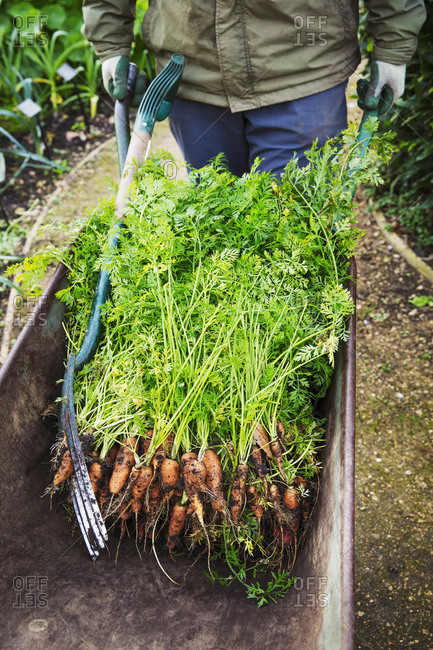 A gardener with a wheelbarrow of fresh pulled carrots.