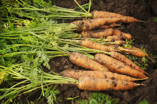A row of freshly pulled carrots covered with soil