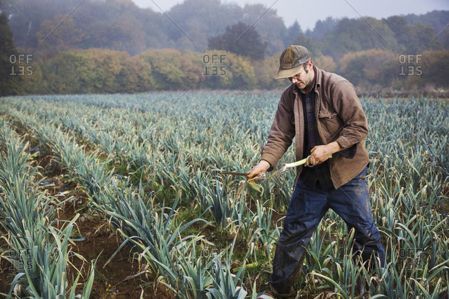 A man lifting and trimming organic leeks in a field.