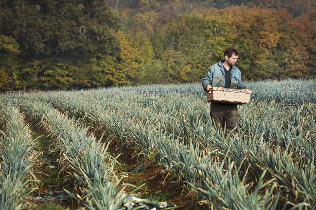 A man carrying a crate of freshly picked vegetables in a field of leeks.