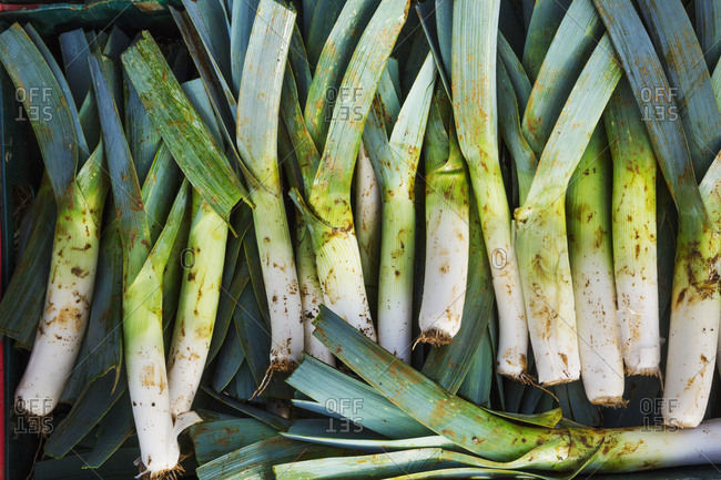 Freshly harvested leeks with white and green leaves.