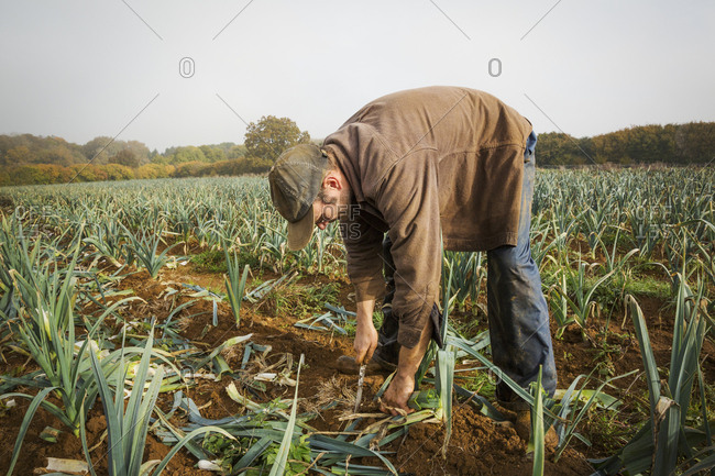 A man bending and lifting fresh leeks from the soil in a field.