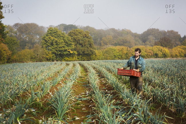 A woman carrying a crate of picked fresh leeks across a field.