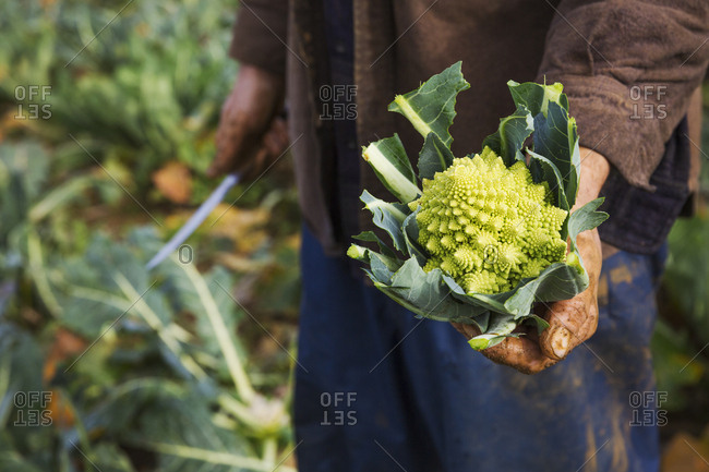 A man holding a harvested cauliflower in his hands.