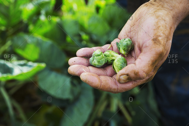 A man holding three small Brussels sprouts in his hand.