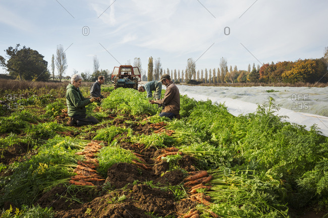 A small group of people harvesting autumn vegetables in the fields on a small family farm.