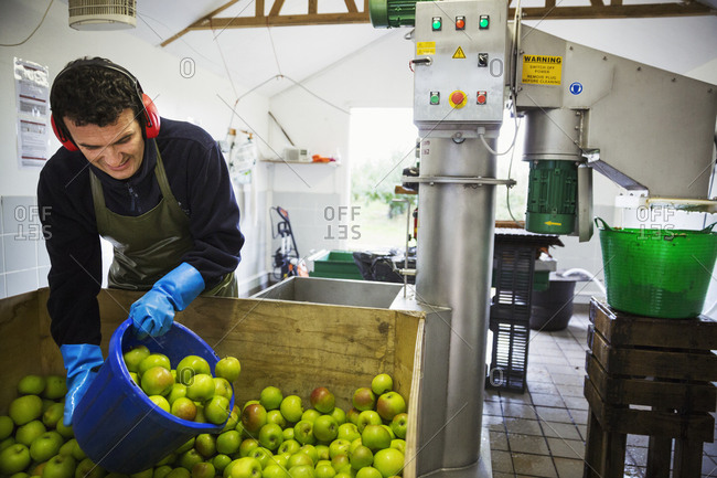 A man scooping fresh green whole apples in a bucket to load the scatter or grating machine.