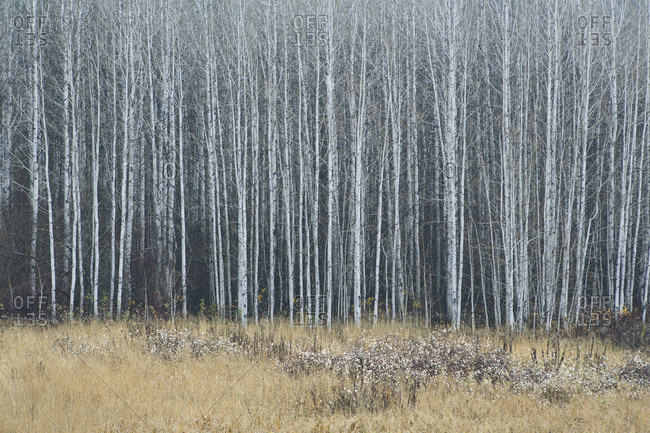 An aspen forest in autumn.  Thin white tree trunks of the quaking aspen in low light with autumnal understory.