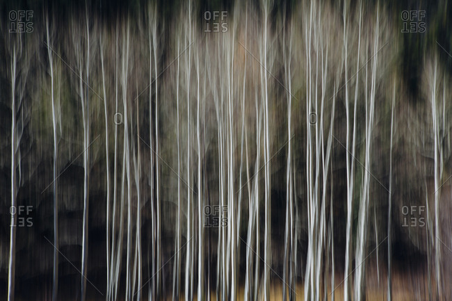 Aspen trees with pale tree trunks in woodland. Blurred motion.