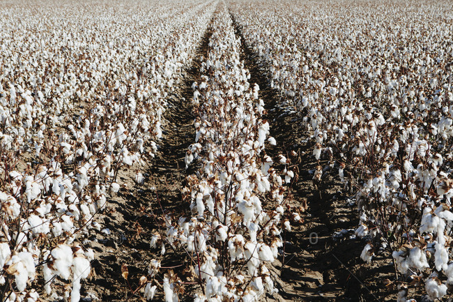 Large field of cotton, near Hatch, New Mexico