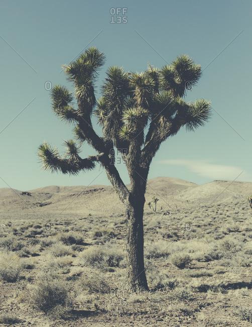 A single Joshua tree, Yucca brevifolia, in a desert