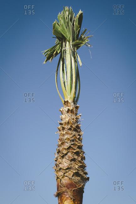 Bound palm tree, Death Valley National Park, USA.