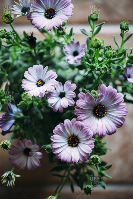 Purple daisies (Dimorphotheca Ecklonis) from above