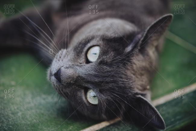 Gray cat (Russian Blue) lying on green tiles