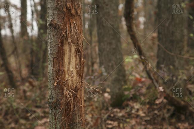 Whitetail Rub Mark On Small Tree