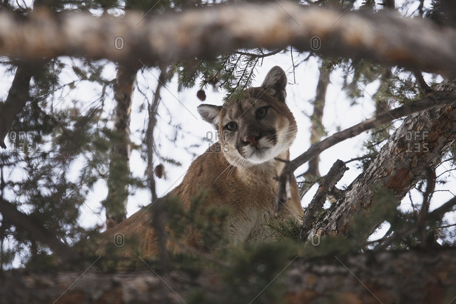 Mountain Lion Cougar In Tree Branches