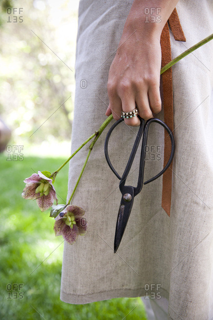 Woman holding clippers with hellebores