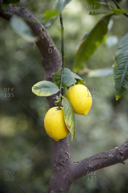 Close up of lemons growing on tree