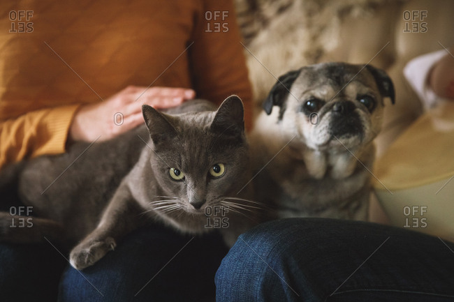 Close-up portrait of pets on their owners' laps