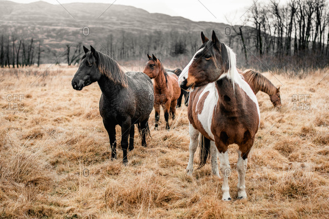 Group of horses grazing in a frosty field in autumn