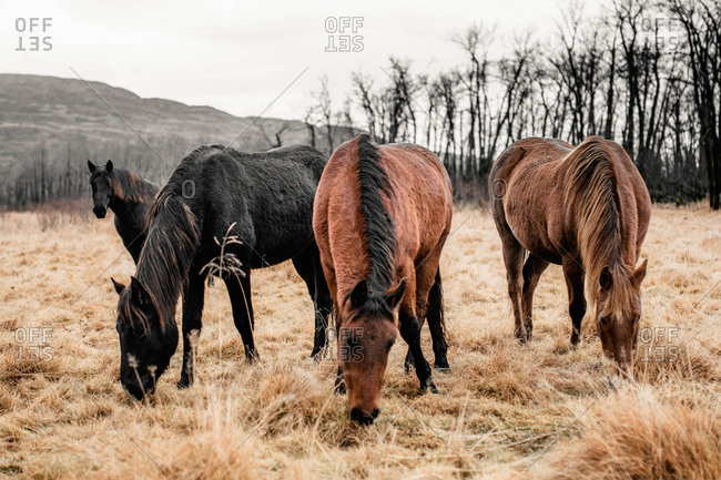 Brown and black horses grazing in autumn field