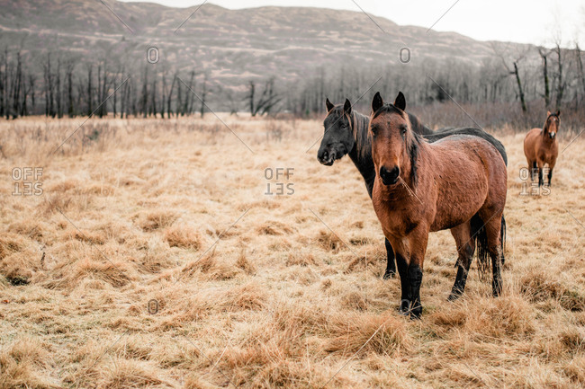 Three horses in field of dry brown grass