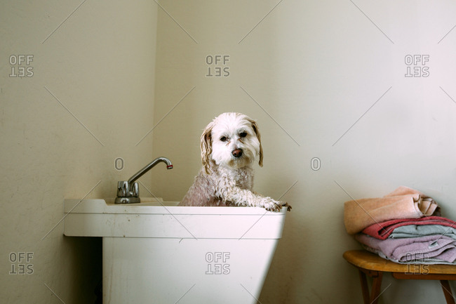 Dog getting a bath in a laundry tub