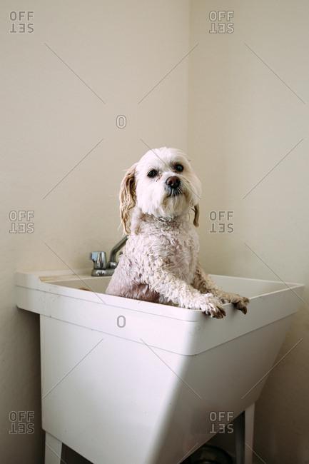 White dog getting a bath in a laundry tub