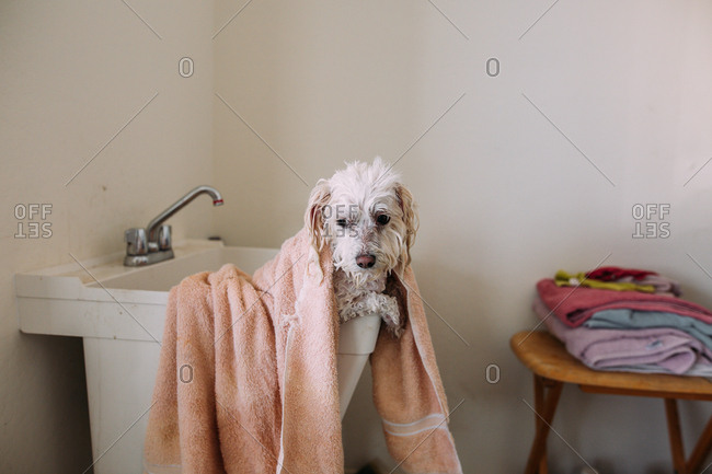 Wet dog with towel in a laundry tub