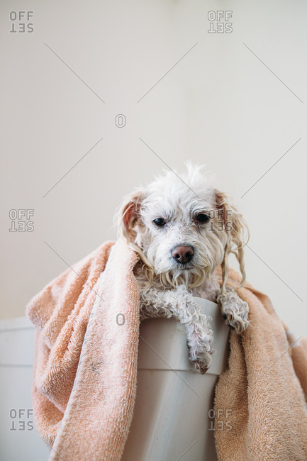 Wet dog covered with a towel in a laundry tub