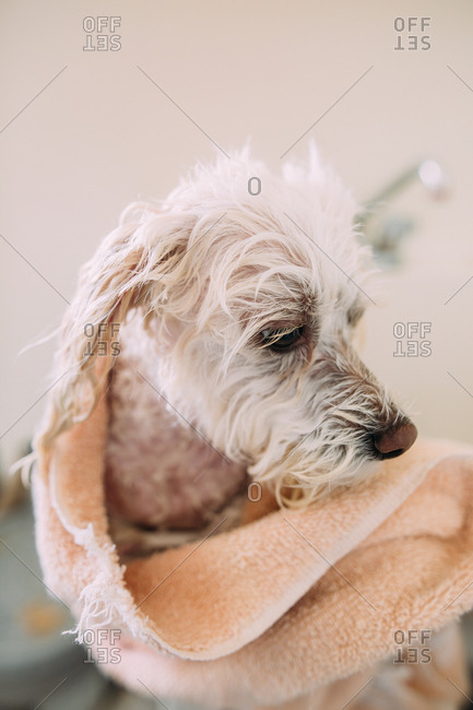 Close up of wet dog with towel in a laundry tub