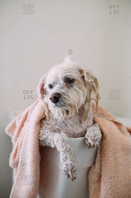White wet dog covered with a towel in a laundry tub