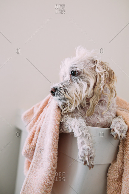 White dog covered with a towel in a laundry tub
