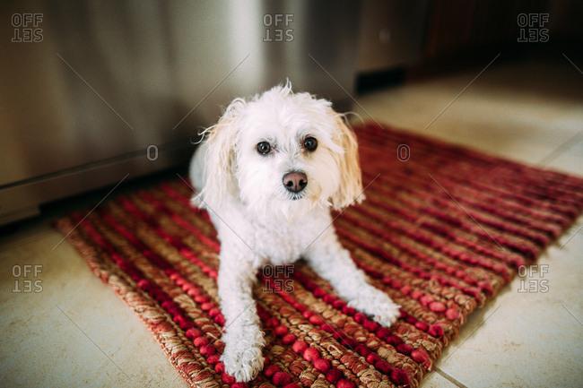 White dog on kitchen rug