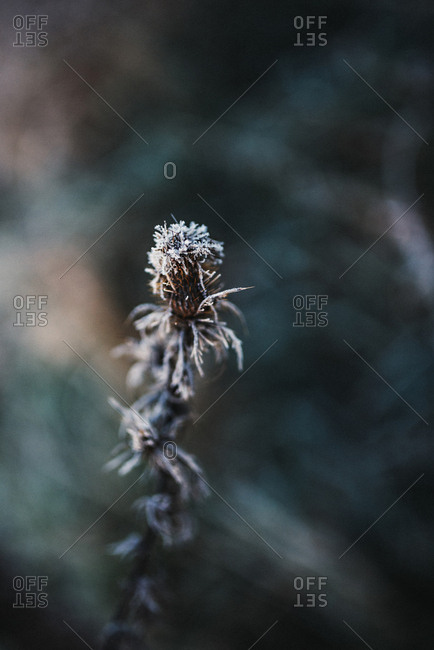 A plant with frost in close up