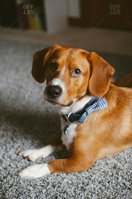 Dog with a plaid collar lying on a rug