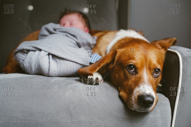 Swaddled newborn baby lying against his pet dog in an armchair