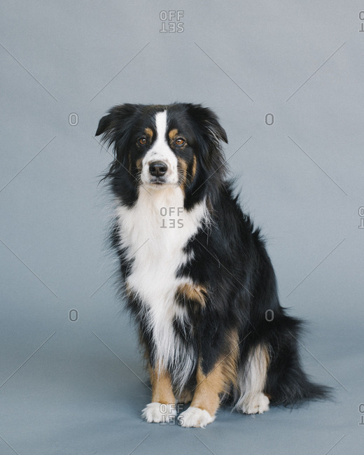 Very serious portrait of an Australian shepherd